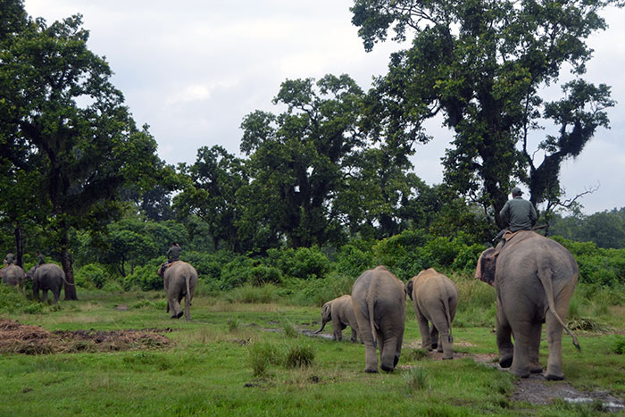 A group of Elephants in Chitwan National Park